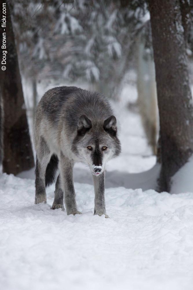 louve dans la neige