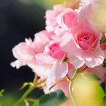 Le message de la rose
